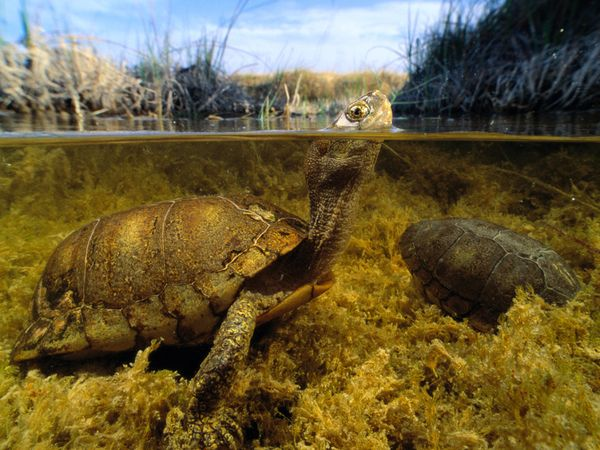 aquatic-coahuilan-box-turtle.jpg?w=630