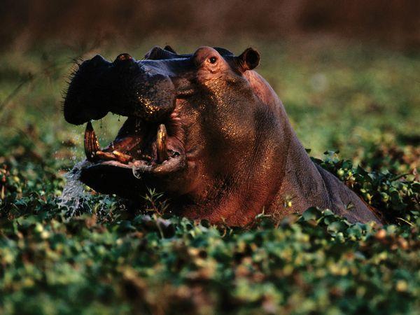 aquatic-hippopotamus-zambezi.jpg?w=630