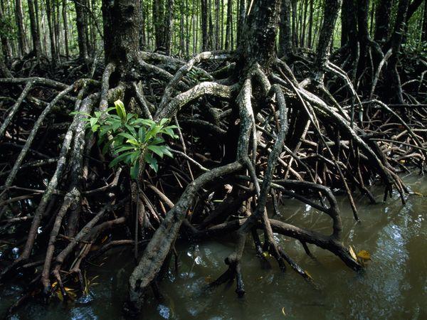 aquatic-mangrove-trees.jpg?w=630