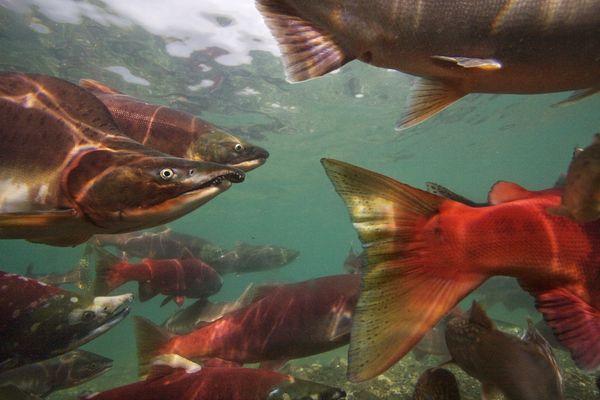aquatic-salmon-russia.jpg?w=630