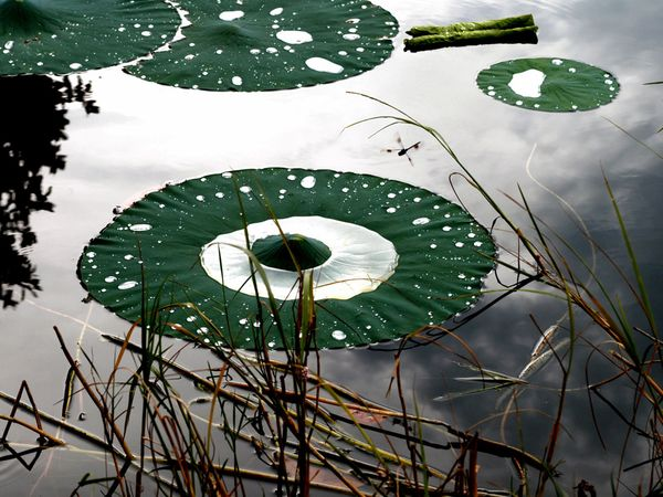 aquatic-water-lily.jpg?w=630