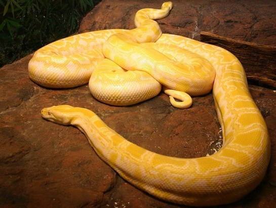 albino_burmese_pythons.jpg?w=545