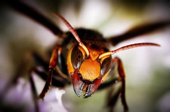 asian-giant-hornet.jpg?w=545