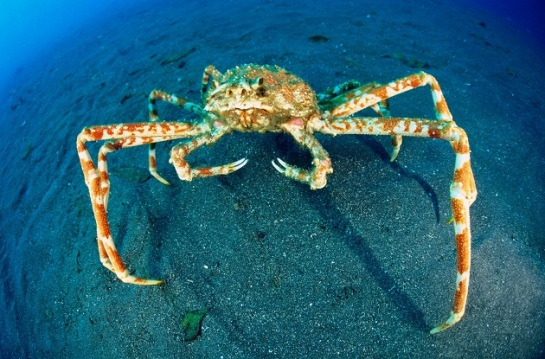 japanese-spider-crab.jpg?w=545