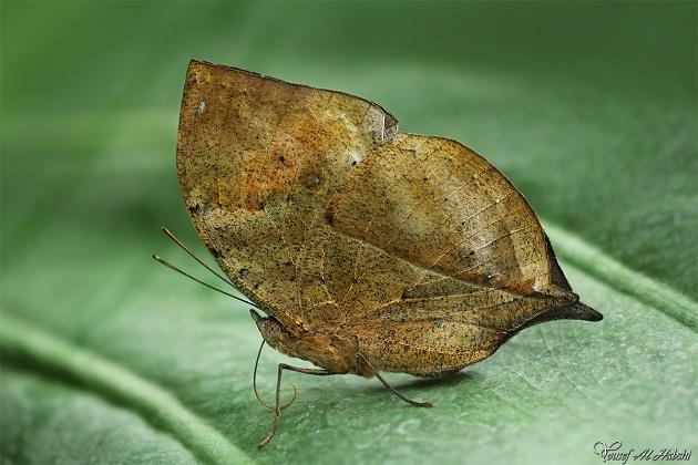 dead_leaf_butterfly.jpg?w=630