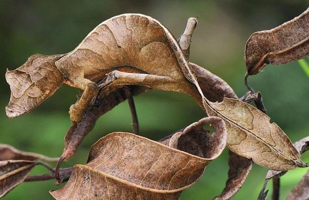 leaf-tailed-gecko.jpg?w=630