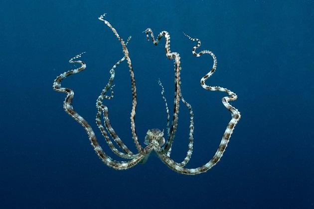 mimic-octopus.jpg?w=630