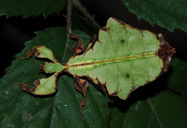 walking-leaf-insect.jpg?w=630