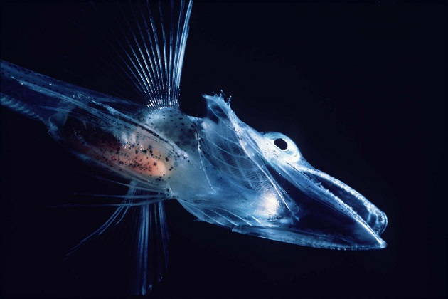 antarctic ice fish